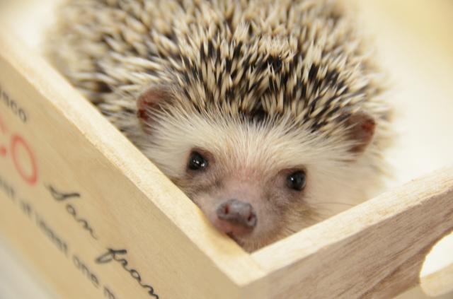 木箱ハリネズミ